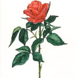 'Rosa Amora' © Osmond K Mairs