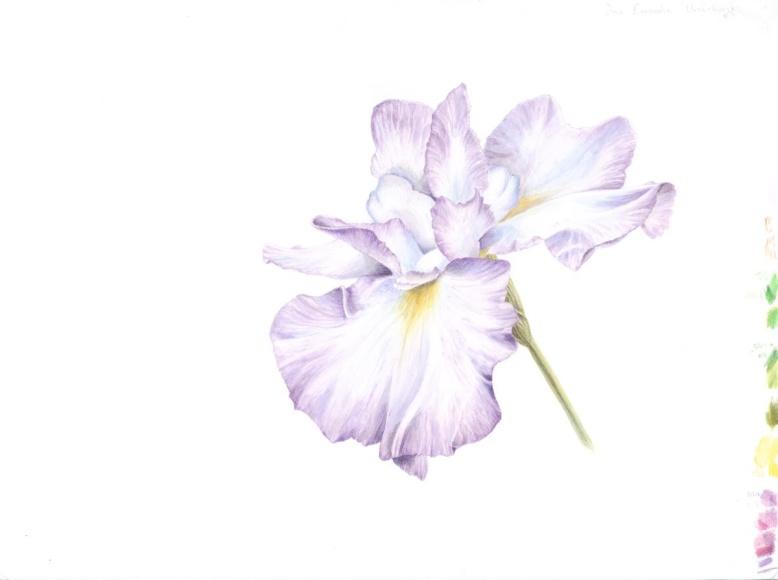 Iris 'Umi-Kazi'