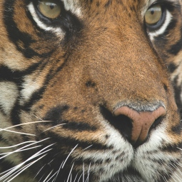 A5cardportrait_tigereyes