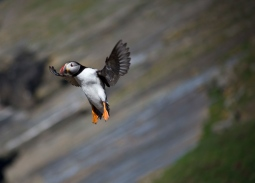 Flying_puffin