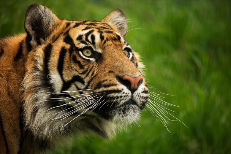 Sumatra Tiger © Leanne Byrom