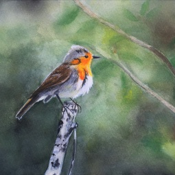 """An Attentive Red Robin"", 2018 © Inês Dourado"