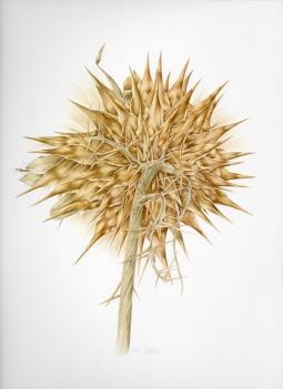 """""""Dried Seed Head"""" © Toni Dade"""