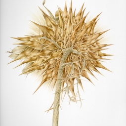 """Dried Seed Head"" © Toni Dade"
