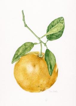 """""""Grapefruit"""" © Toni Dade"""