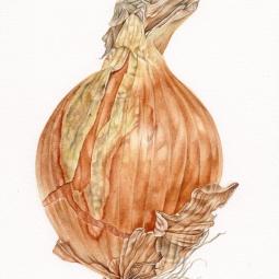 """""""Onion"""" © Toni Dade"""