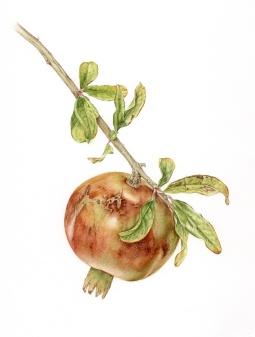 """""""Pomegranite 1"""" © Toni Dade"""