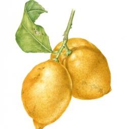 """Two Lemons"" © Toni Dade"
