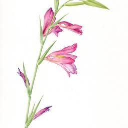 """Wild Gladiolus"" © Toni Dade"